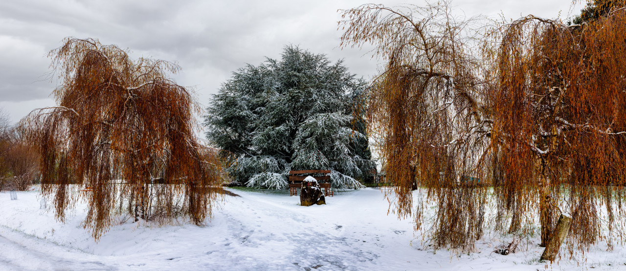 Winter landscape with snow covered willow trees