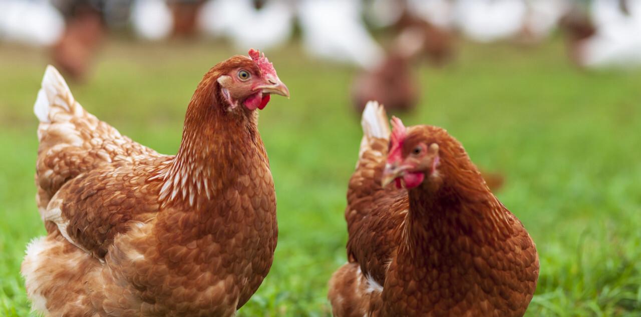 two cute brown hen standing on green grass