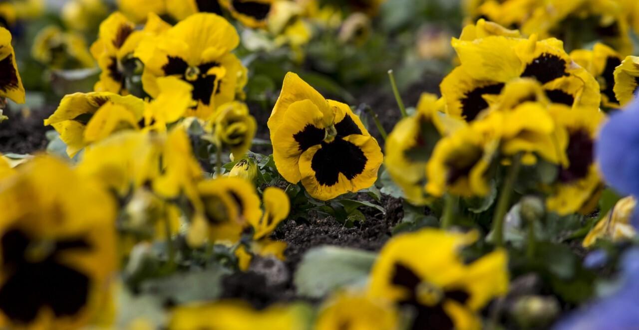 viola flower  field black yellow