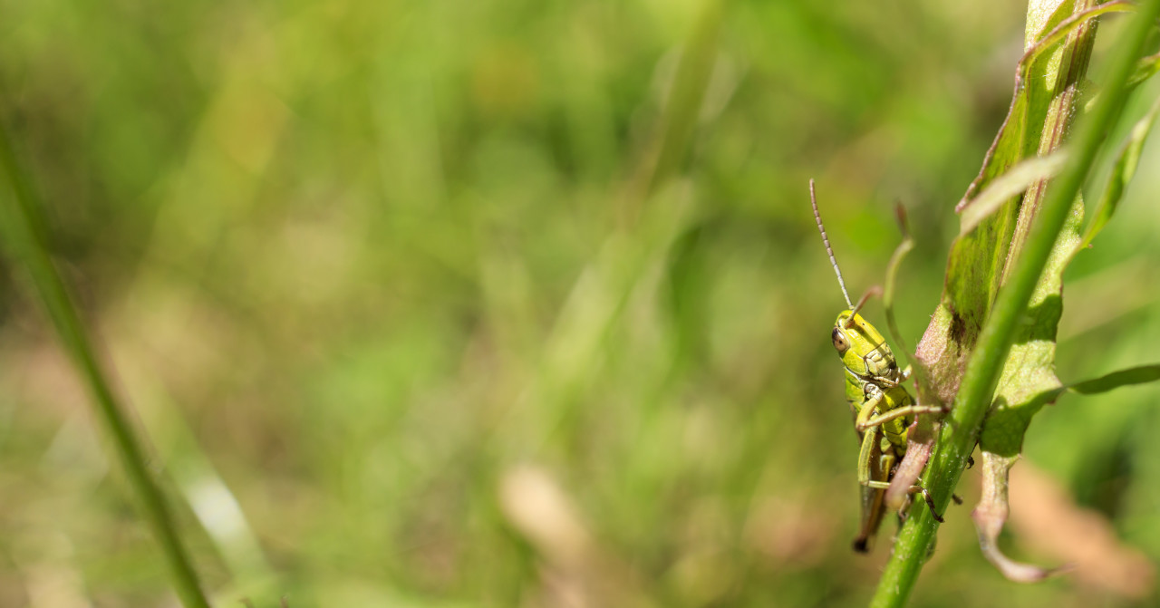Young Green Grasshopper - Banner size image