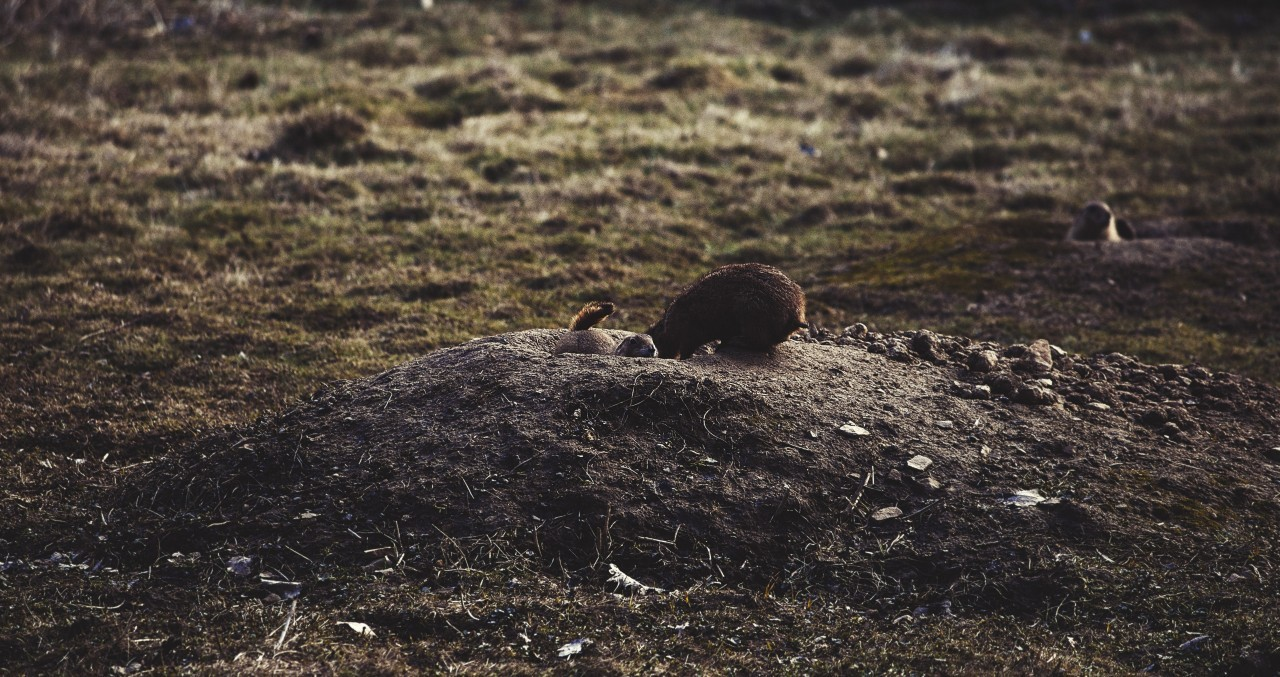 prairie dogs look out of their burrow