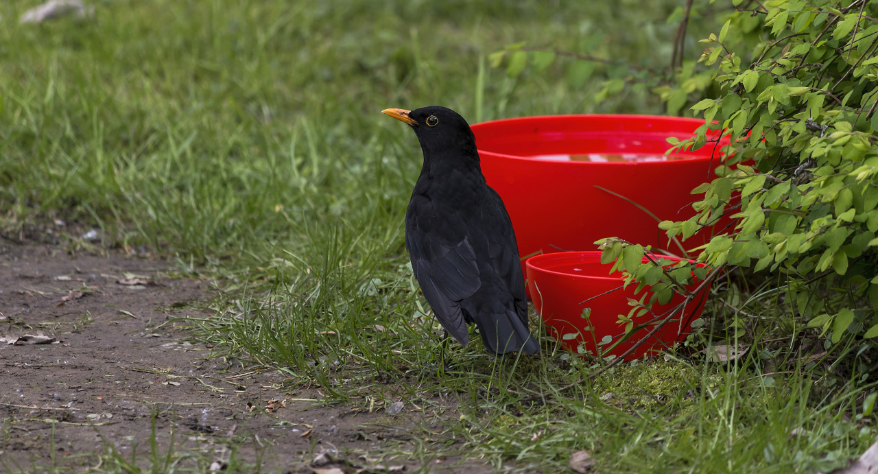 blackbird in a garden