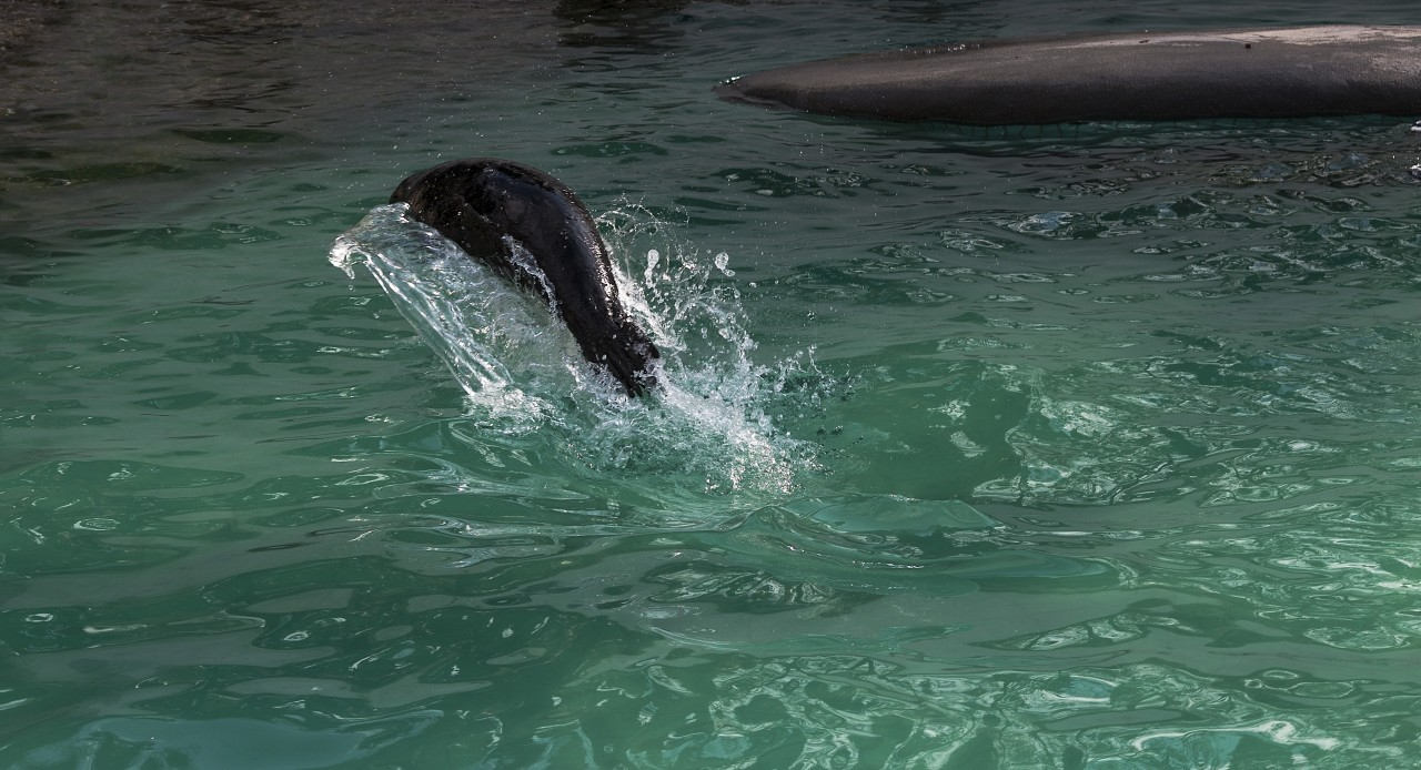 sea lion jumps out of water