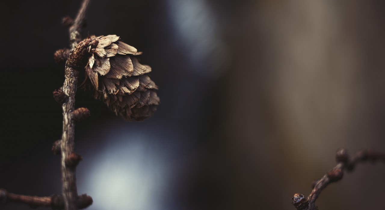 Pine cone on a branch in spring