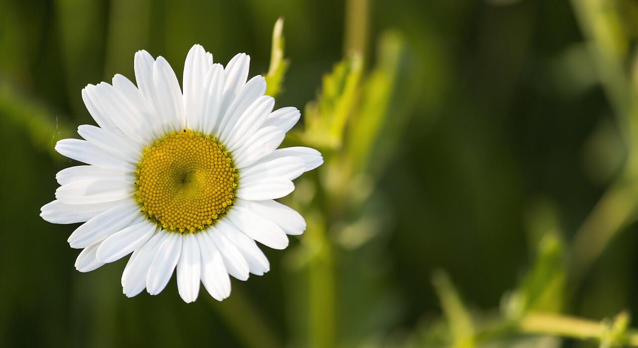 Beautiful white daisy flower