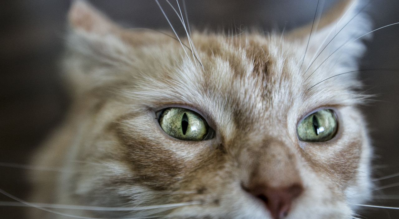 maine coon cat eyes