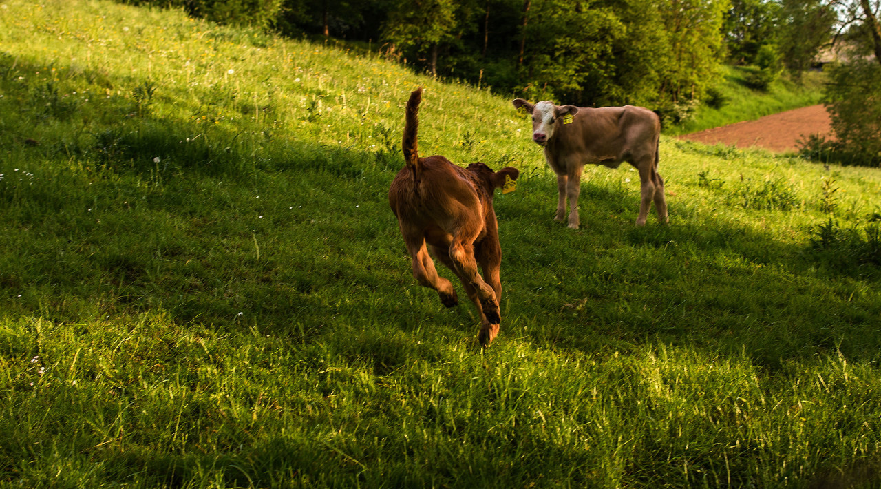 calf runs