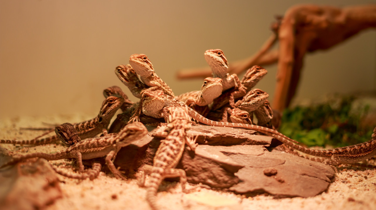 Central bearded dragon baby
