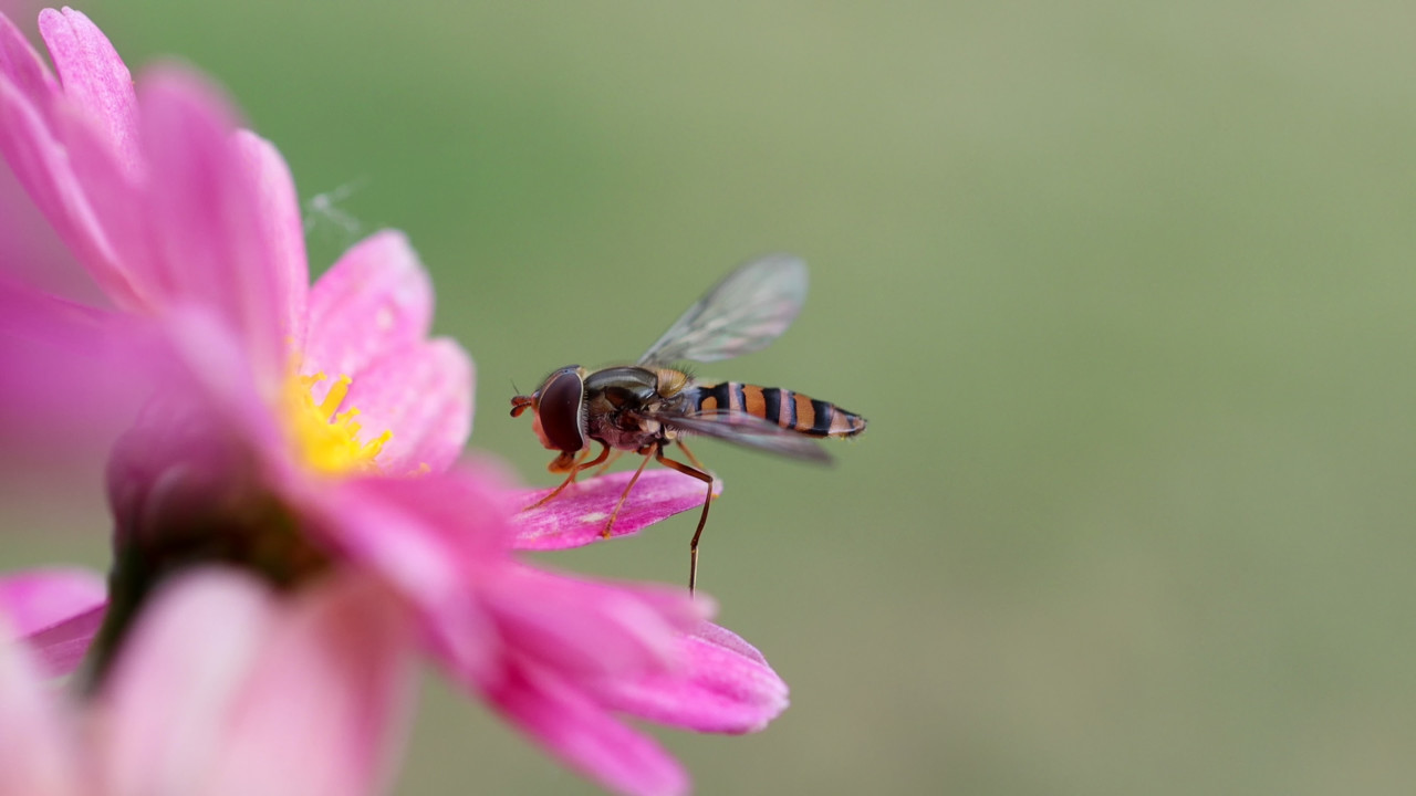 Hoverflies, also called flower flies or syrphid flies on a purple daisy flower eat nectar from a violet flower