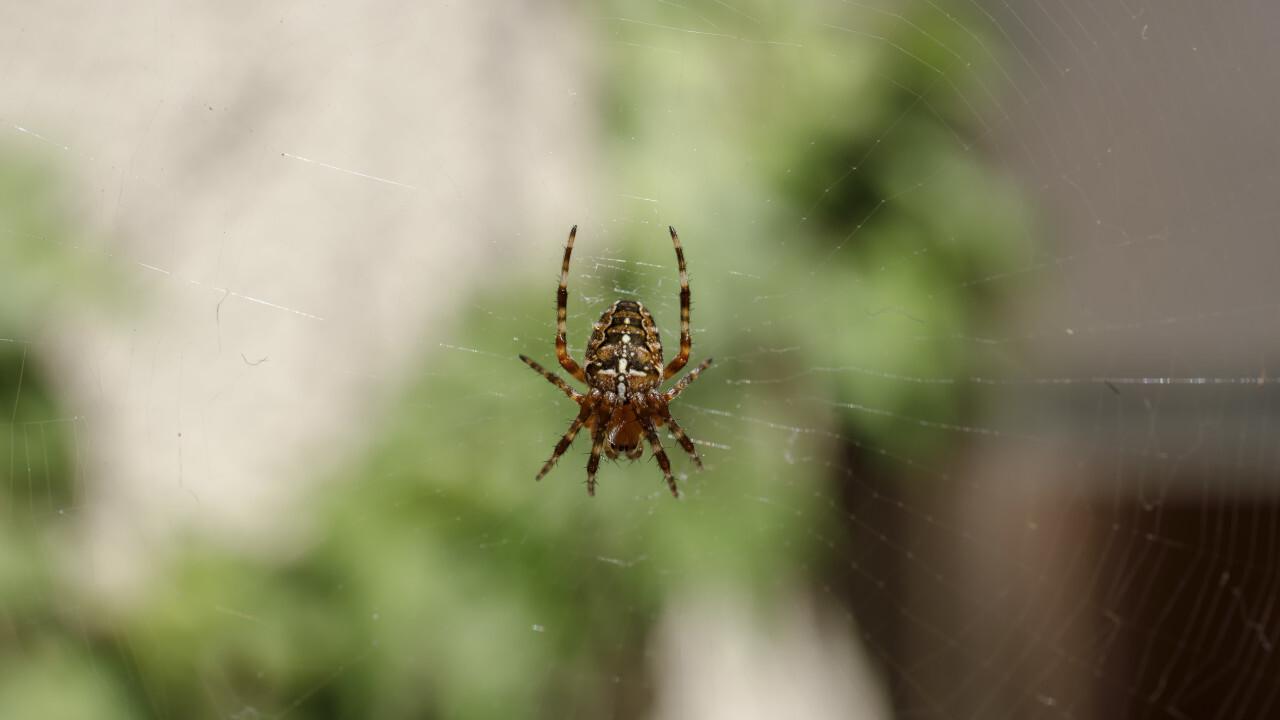 Garden Spider (Angulate orbweavers) in her web