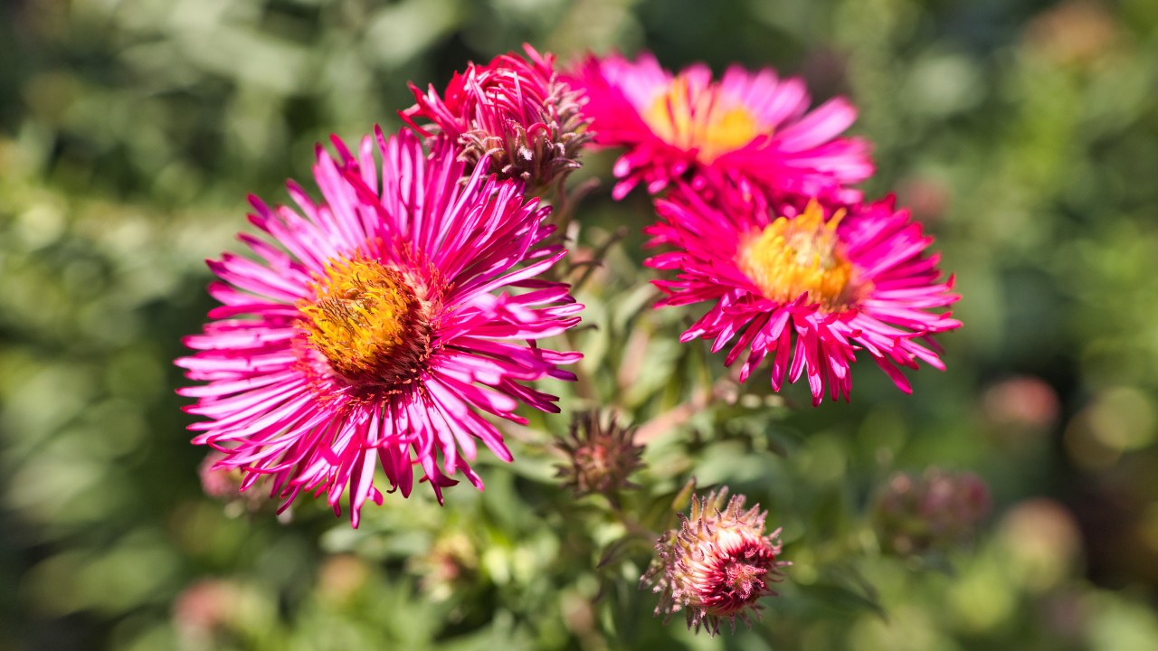 Pink new england asters