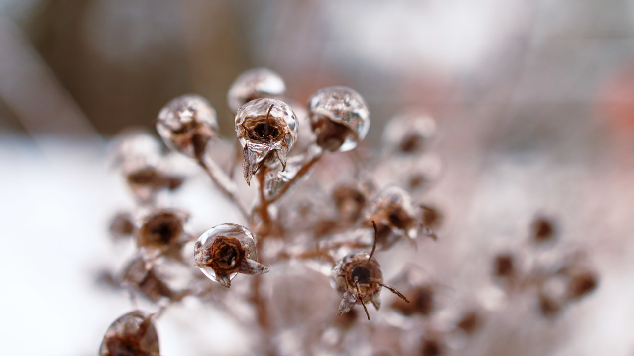 Ice balls on the seed heads of a rose in winter