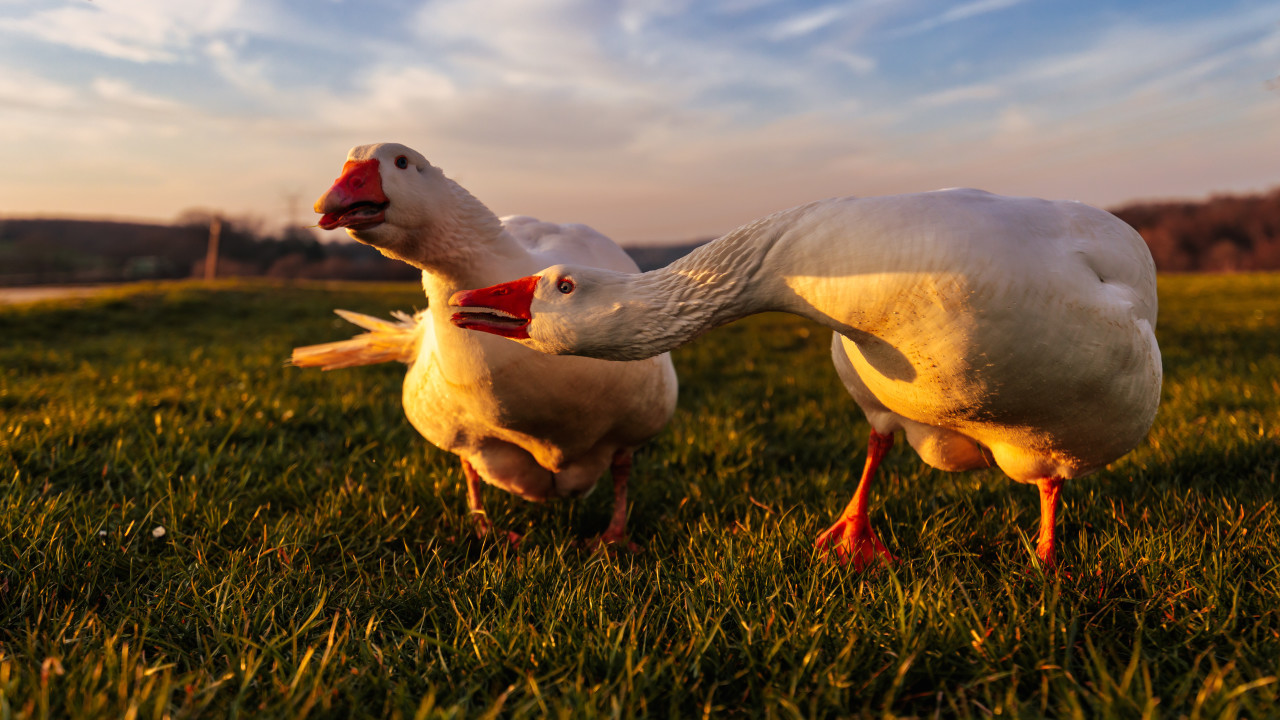 Two angry white geese on a rural landscape
