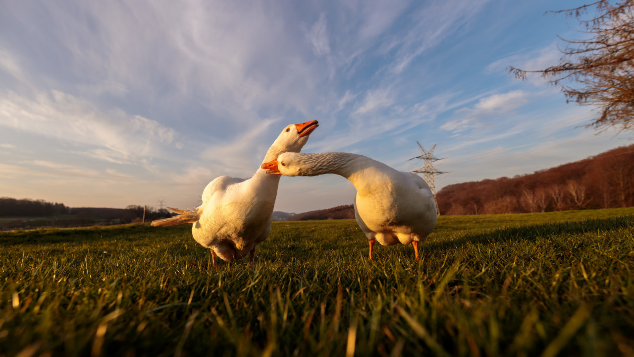 Two white geese on a rural landscape