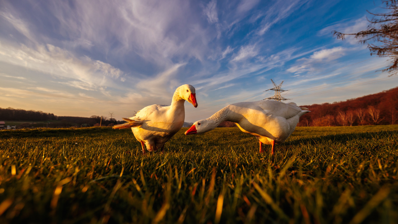 white geese on a rural landscape on a green meadow