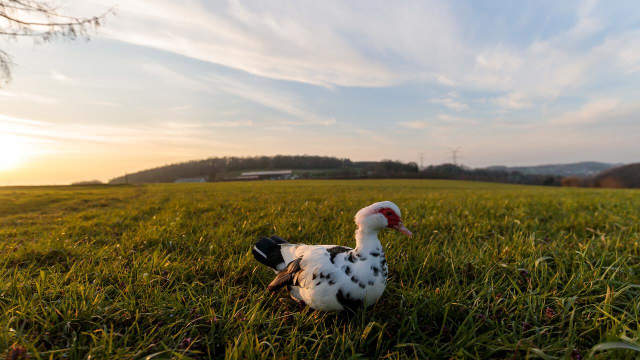 Muscovy duck on a rural landscape