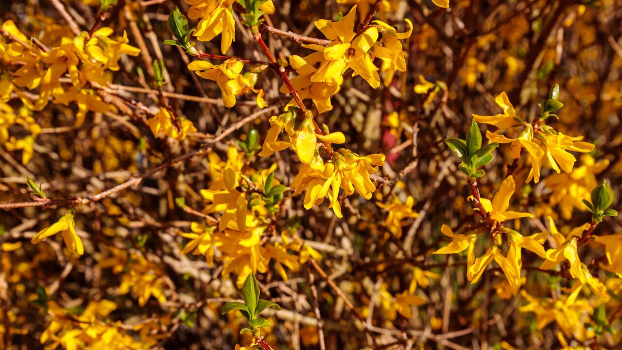 Yellow blossoms of a forsythia bush