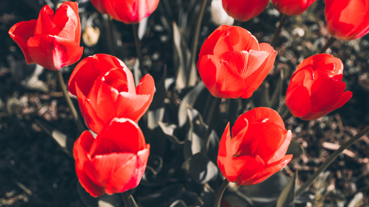 red tulips background