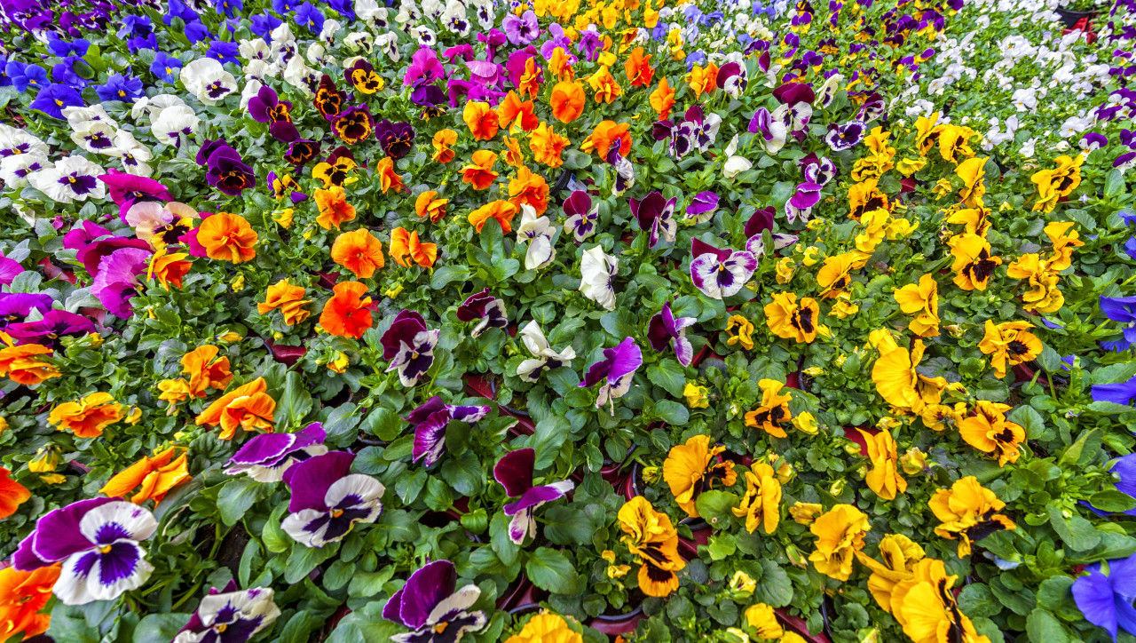 Viola plants for sale at a market place, the violas are placed in trays