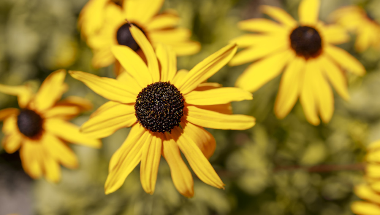 Bright yellow rudbeckia or Black Eyed Susan flowers