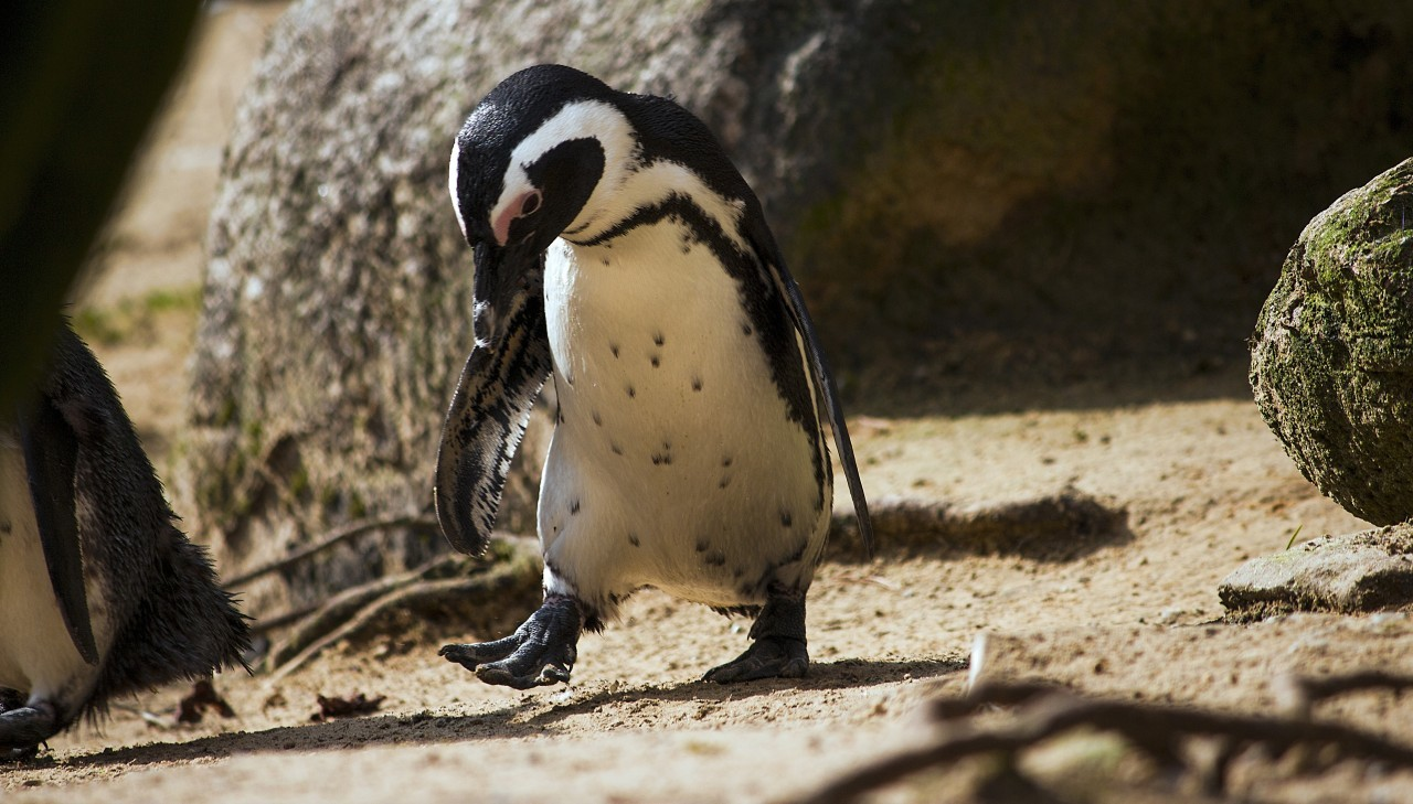 penguin pays attention to his feet while running