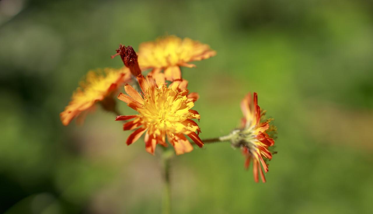 Orange Hawkweed flower or Pilosella aurantiaca