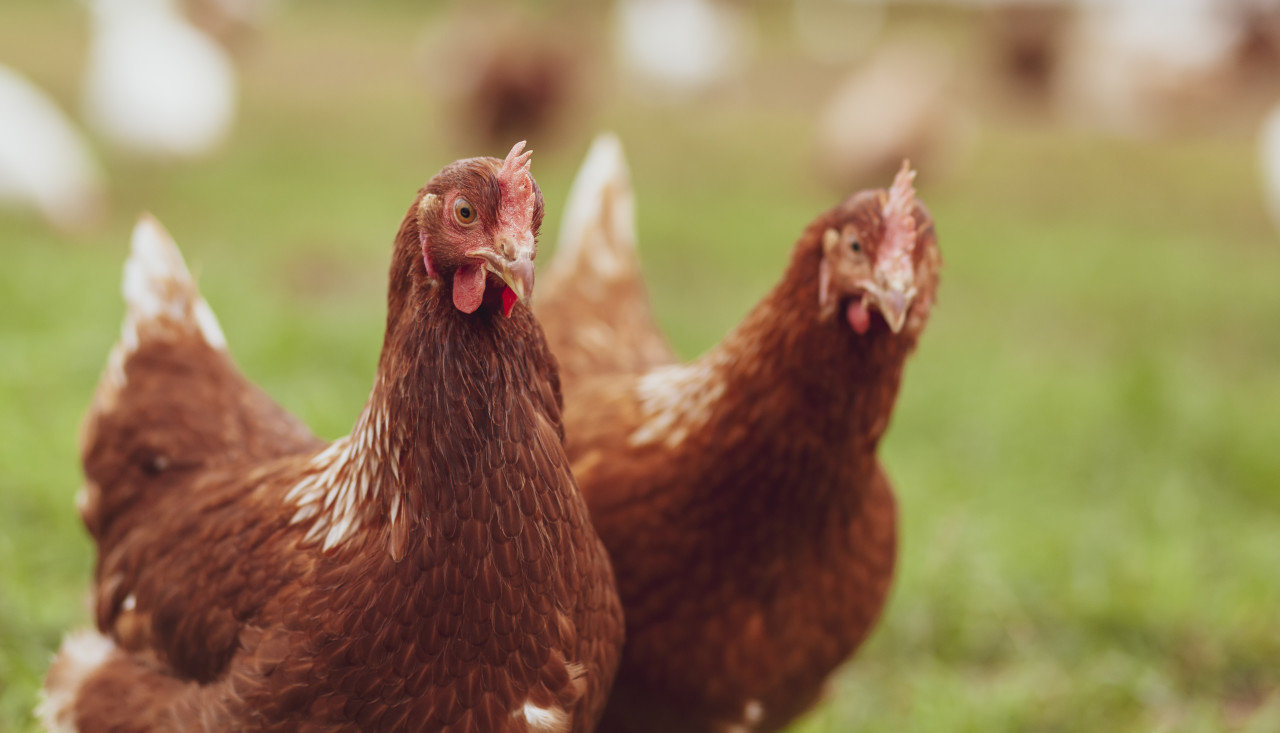 Chicken on the farm, poultry concept. Cute brown hen looking at camera