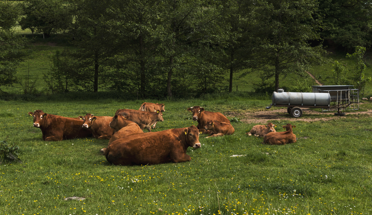 happy herd of cows