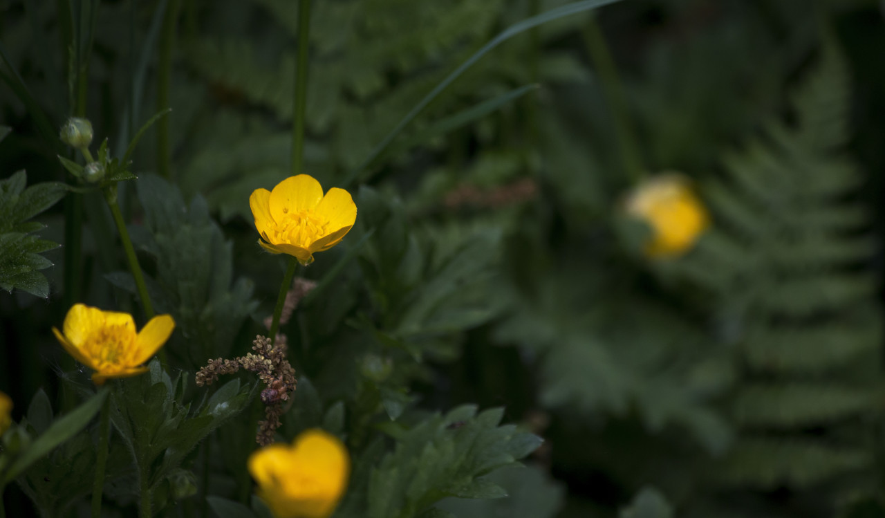 buttercup in forest