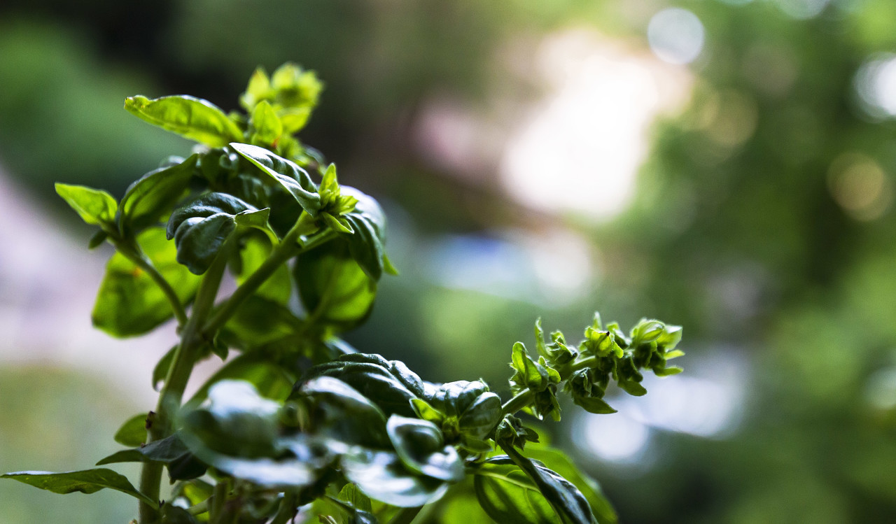 fresh green healthy basil plant - basil leaves