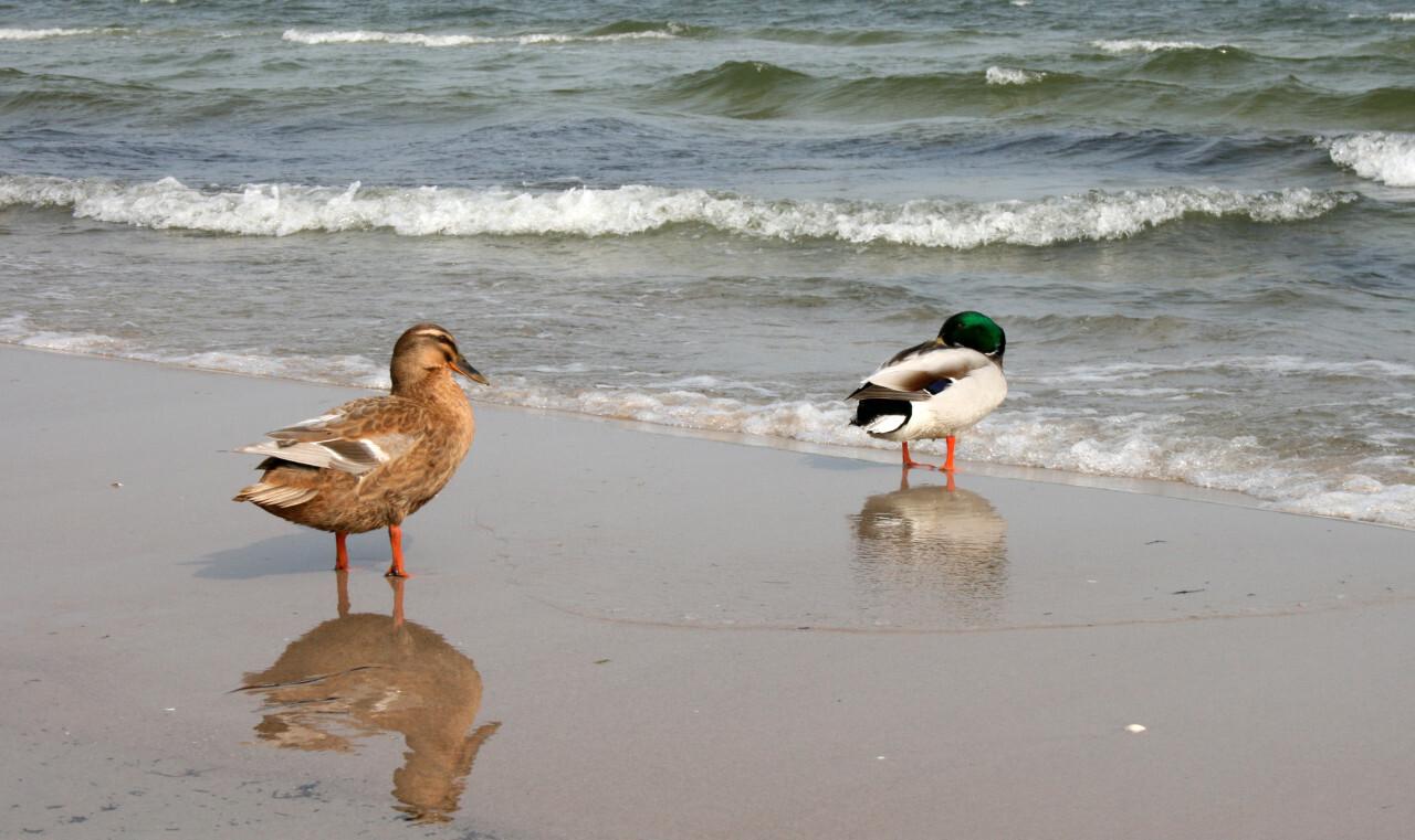 A cute duck couple on the beach