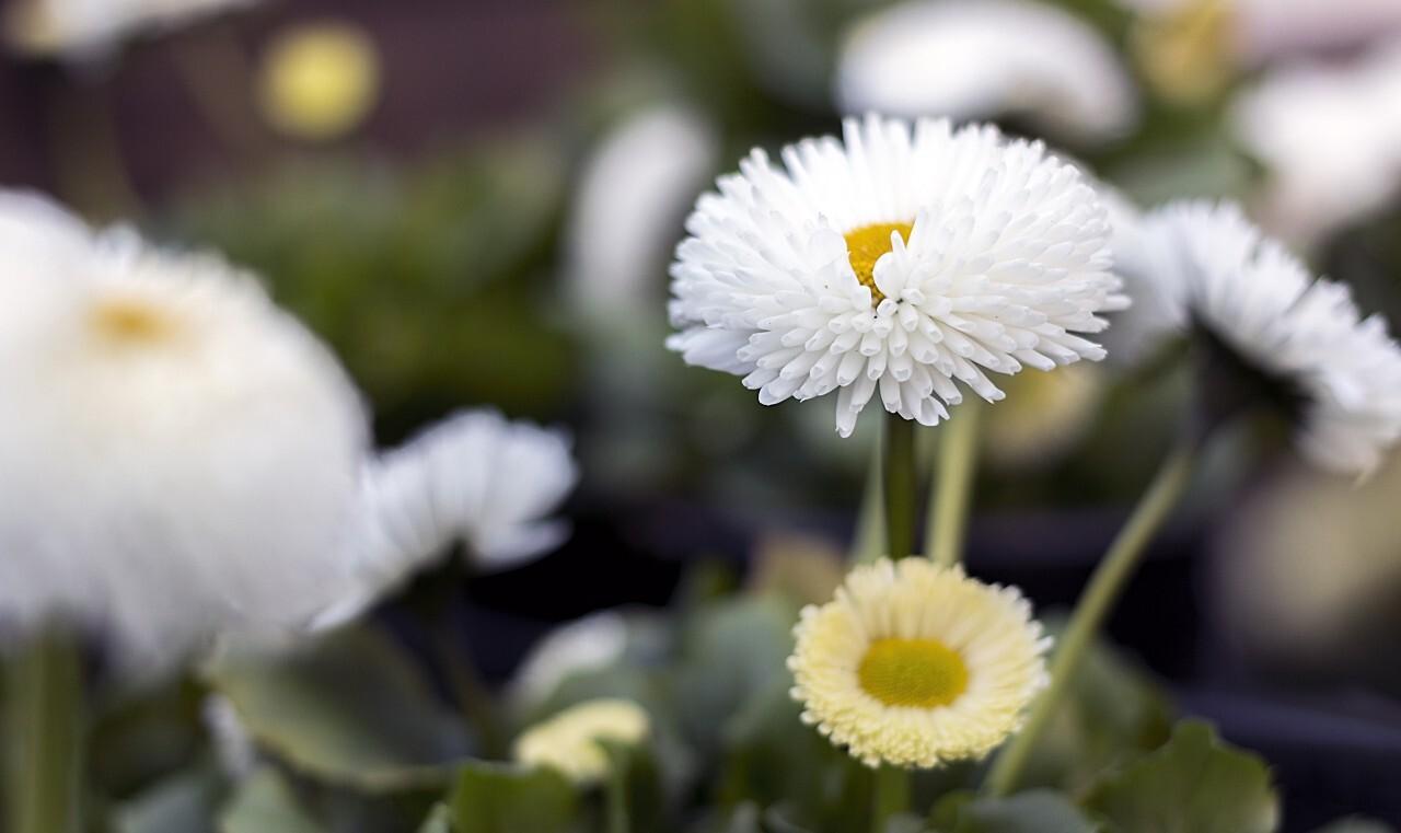 white special daisy