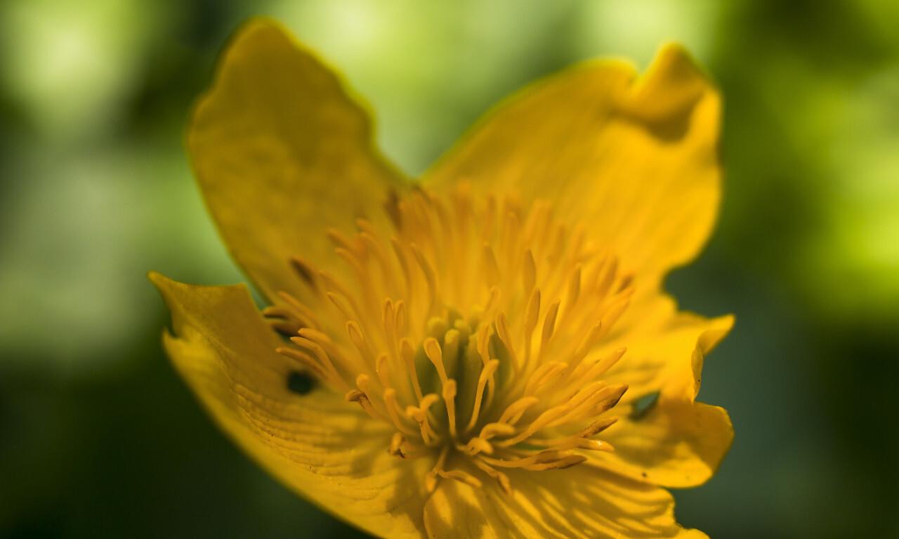 yellow buttercup flower macro