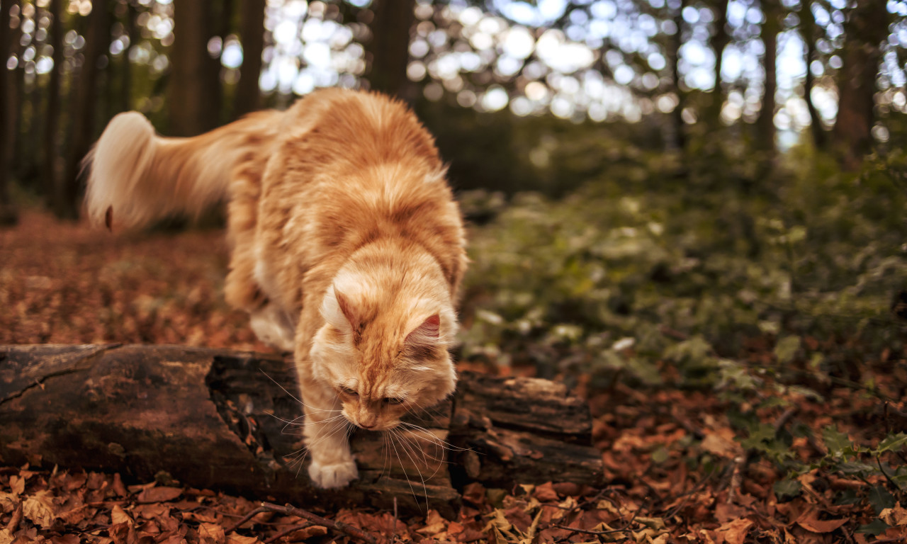 maine coon cat in the forest