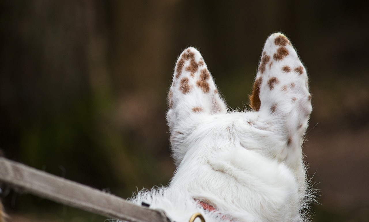 white dog ears