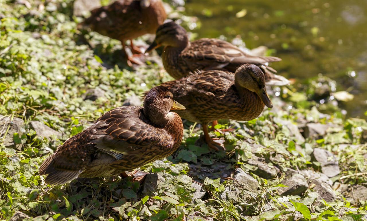 ducks on green grass