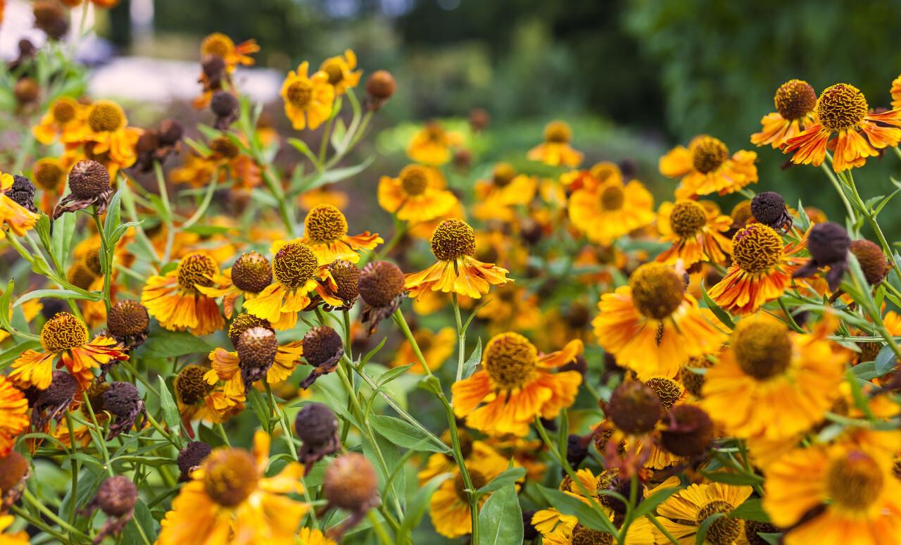Yellow Flowers Echinacea