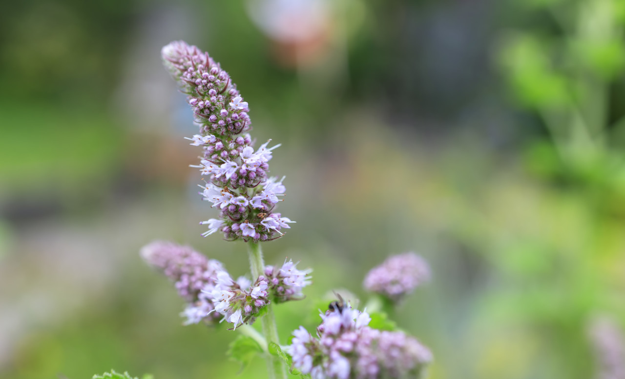 Peppermint Flower in Summer