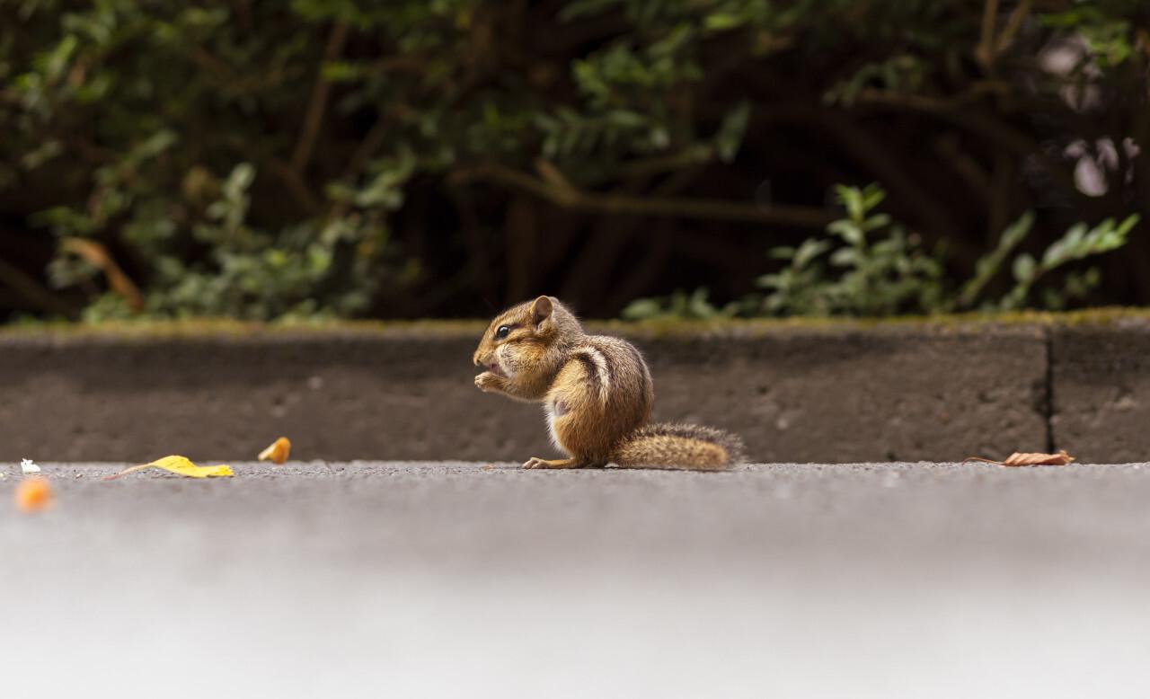 Wild chipmunk eating nut