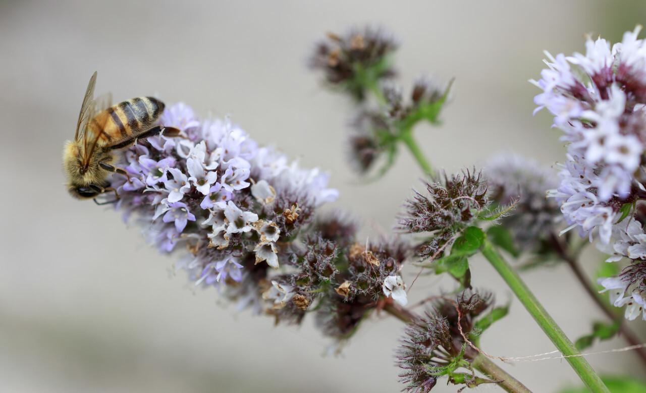 Bee on Peppermint Flower in August Summer