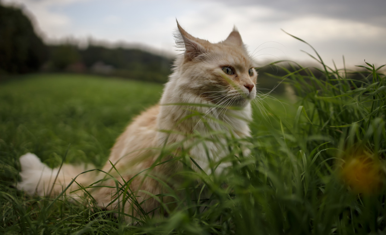 Maine Coon Cat outdoors in nature