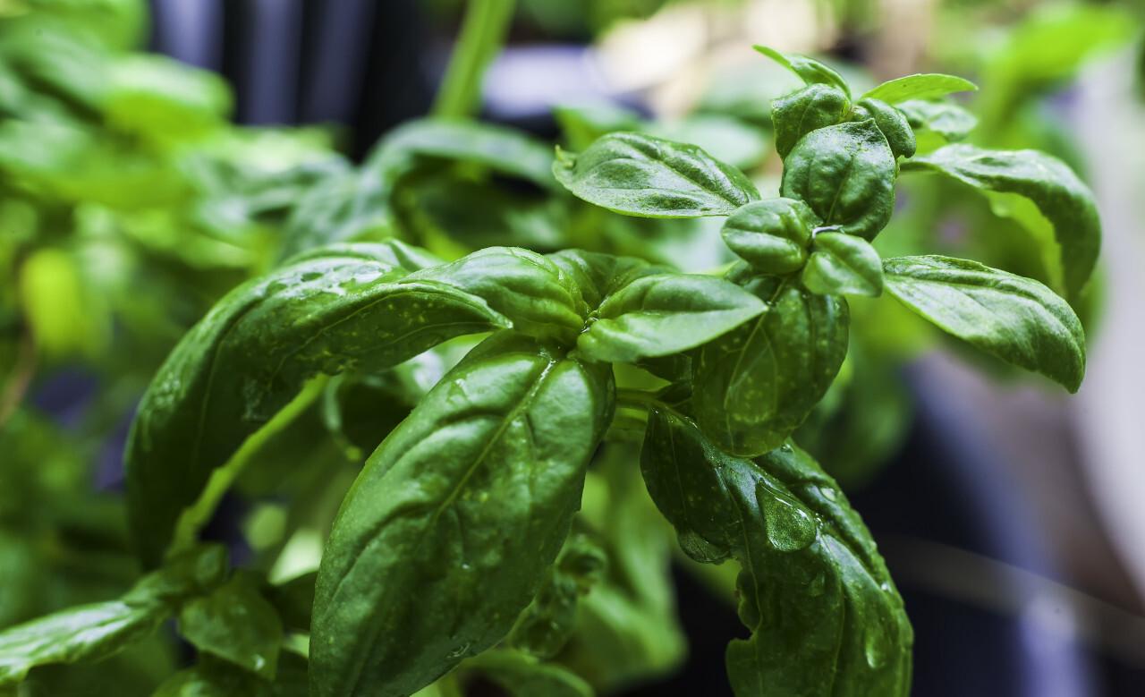 green wet fresh italian basil spice macro