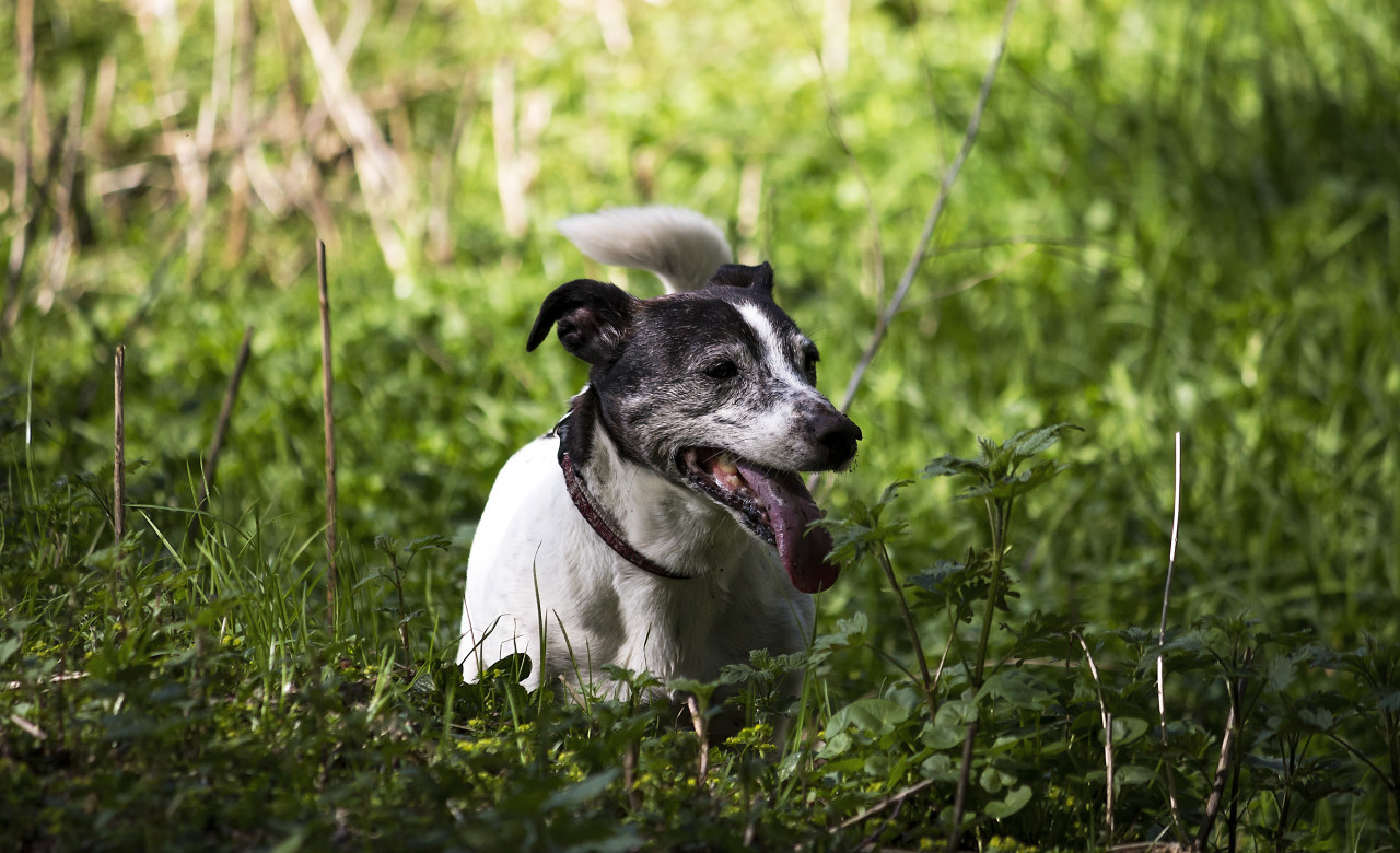jack russell terrier in grass