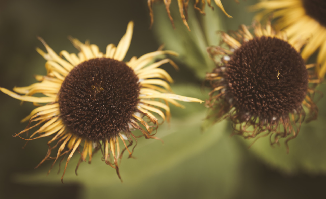 withered sunflowers in autumn