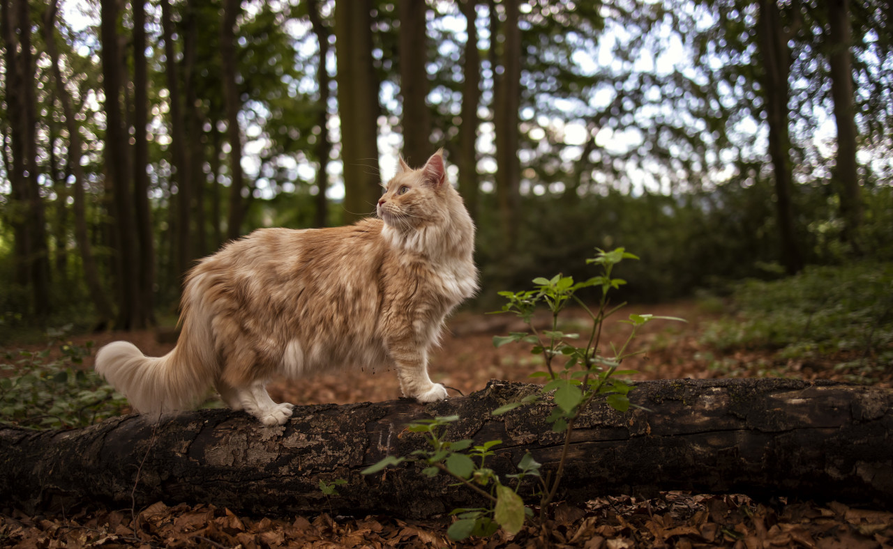 maine coon cat on a fallen tree in a forest
