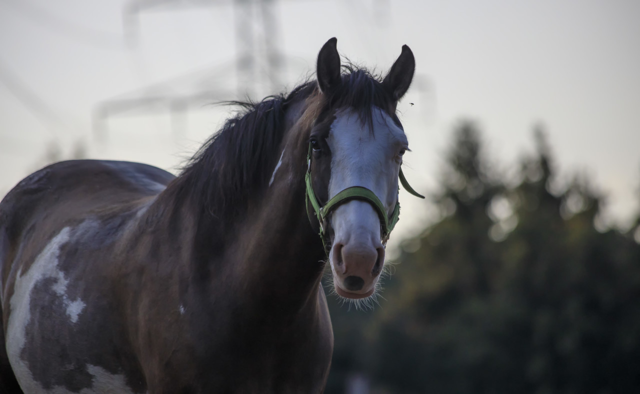 portrait of a dark brown horse with a white head