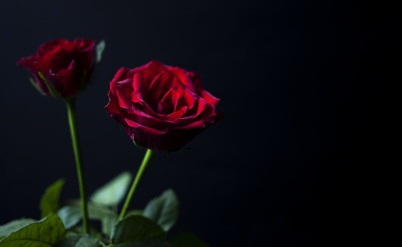 Red roses on a black background for Valentine's Day