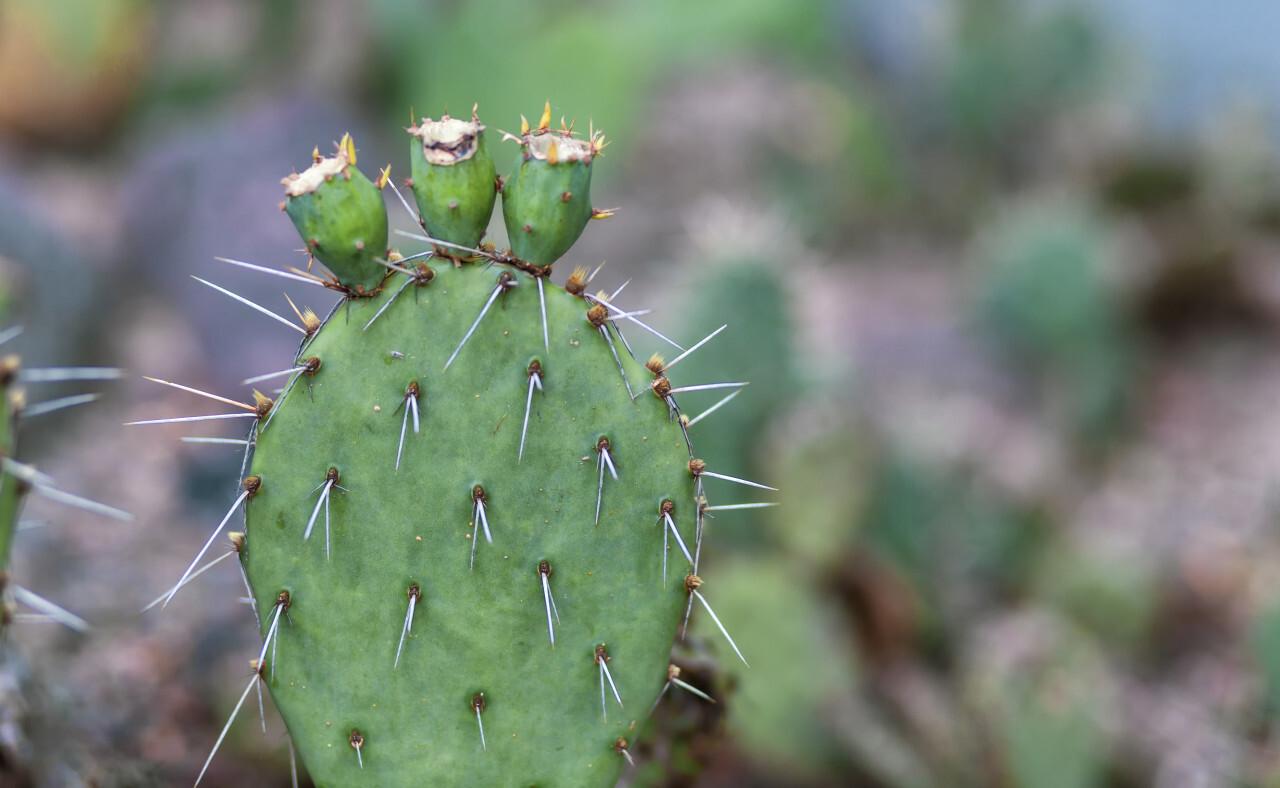 opuntia microdasys or bunny ears cactus