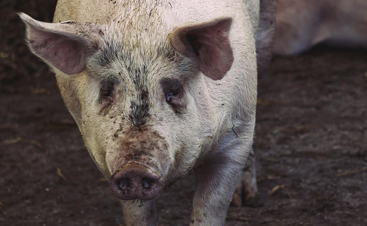 pink breeding pig