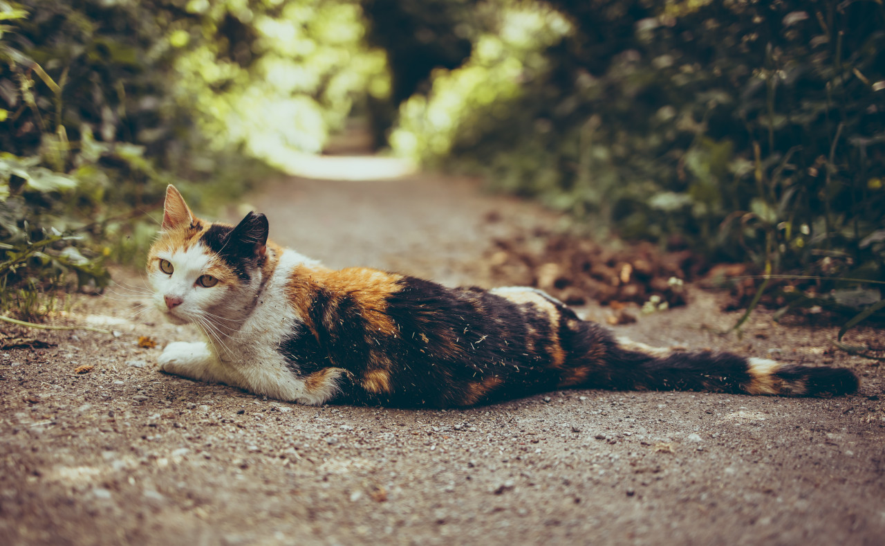 A colorful lucky cat lies in the middle of the forest path (tri-color cat)